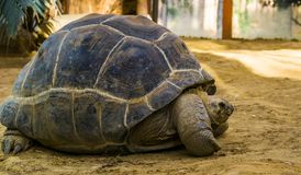 Closeup portrait of a aldabra giant tortoise, worlds largest turtle specie, tropical and vulnerable reptile from seychelles and. A closeup portrait of a aldabra stock images