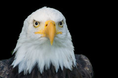 Closeup portrait of American Bald Eagle. Closeup portrait of the head of an American Bald Eagle, isolated on a black background Royalty Free Stock Photos