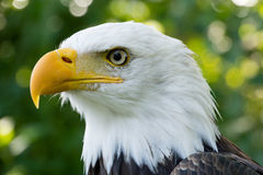 Closeup portrait of American Bald Eagle Stock Photo