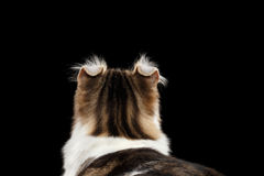 Closeup Portrait of American Curl Cat on Black Isolated background. Closeup Portrait of American Curl Cat Breed with twisted Ears, on Black Isolated background royalty free stock image