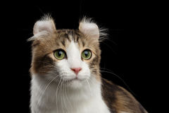Closeup Portrait of American Curl Cat on Black Isolated background Royalty Free Stock Photo