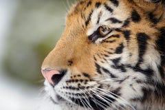 Closeup tiger portrait stock photo