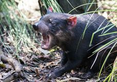 Closeup portrait of the angry Tasmanian devil Sarcophilus harrisii withan open mouth and canines. Predator royalty free stock photography