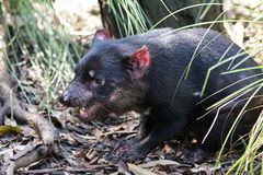 Closeup portrait of the angry Tasmanian devil Sarcophilus harrisii withan open mouth and canines royalty free stock photo