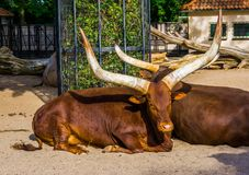 Closeup portrait of a ankole watusi laying on the ground, tropical cow breed with massive horns from America