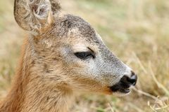 Closeup portrait of a baby roe deer Royalty Free Stock Photography