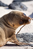 Closeup portrait of baby sea lion sunbathing in a Royalty Free Stock Photo