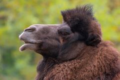 Closeup portrait of Bactrian camel Camelus bactrianus stock photos