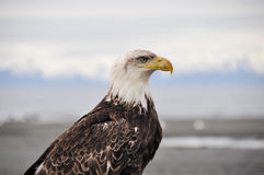 Closeup portrait of a bald eagle, Alaska Royalty Free Stock Images