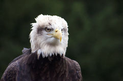 Closeup portrait of Bald Eagle. Haliaeetus leucocephalus, with white feathered head, yellow hooked beak and brown feathers, dark background Royalty Free Stock Photo