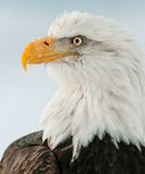Closeup Portrait of a bald eagle (lat. haliaeetus leucocephalus) Royalty Free Stock Image