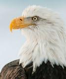 Closeup Portrait of a bald eagle (lat. haliaeetus leucocephalus) Royalty Free Stock Image