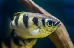 Closeup portrait of a banded Archer fish, popular tropical aquarium pet, Exotic specie from the Indo-pacific ocean royalty free stock image