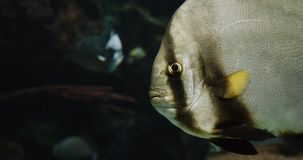 Closeup Portrait of a Batfish. Cinematic 4K footage stock footage