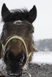 Closeup portrait of bay horse  in winter paddock Stock Photos