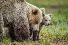 Closeup portrait of She-Bear and Cubs of Brown bear Ursus Arctos Arctos on the swamp in the summer forest. Natural green Backgro. She-Bear and Cubs of Brown bear Stock Photos