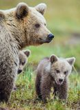 Closeup portrait of She-Bear and Cubs of Brown bear Ursus Arctos Arctos on the swamp in the summer forest. Natural green Backgro. She-Bear and Cubs of Brown bear Royalty Free Stock Photos