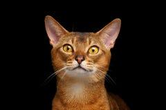 Closeup Portrait of beautiful Abyssinian cat  on black Stock Photos