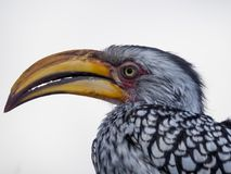 Closeup portrait of beautiful colorful Southern Yellow-Billed Hornbill bird with long beak, Botswana, Africa.  Royalty Free Stock Photos