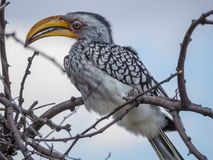 Closeup portrait of beautiful colorful Southern Yellow-Billed Hornbill bird with long beak, Botswana, Africa.  Royalty Free Stock Images