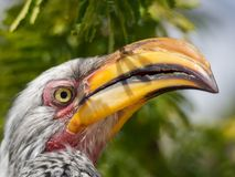 Closeup portrait of beautiful colorful Southern Yellow-Billed Hornbill bird with long beak, Botswana, Africa.  Stock Photo