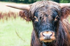 Closeup portrait of beautiful highland scottish hairy red cow. Looking at camera. Pollok Country park, Glasgow, Uk, Scotland. Colored outdoor horizontal image Royalty Free Stock Image