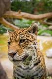 Closeup portrait of beautiful jaguar outdoors Stock Images