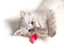 Closeup portrait of a beautiful kitten. Closeup portrait of a beautiful furry kitten lying on back and looking at camera on white background stock photo