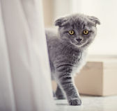 Closeup portrait of beautiful kitten Royalty Free Stock Image