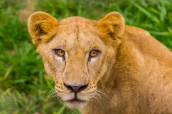 Closeup portrait of beautiful lioness Stock Photography