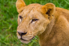 Closeup portrait of beautiful lioness Stock Images