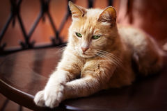 Closeup portrait of beautiful red cat. Beautiful red cat is looking at camera outdoor, close up portrait Stock Image