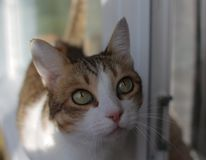 Closeup portrait of a beautiful tabby white cat with green eyes standing on a window sill royalty free stock photography