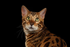 Closeup Portrait of Bengal Cat on Black Isolated Background Stock Image