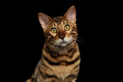 Closeup Portrait of Bengal Cat on Black Isolated Background Royalty Free Stock Photo