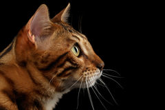 Closeup Portrait Bengal Cat on Black Isolated Background in Profile. Closeup Portrait of Bengal Male Cat on Black Isolated Background in Profile view stock image