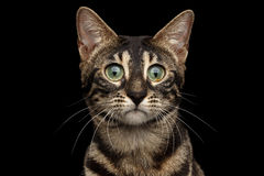 Closeup Portrait of Bengal Cat with Green eyes, isolated Black Royalty Free Stock Photos