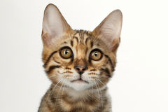 Closeup Portrait of Bengal Kitty, Gaze Looks on White Background. Closeup Portrait of Bengal male Kitty, Gaze Looking in Camera on White Background, Front view Royalty Free Stock Photo