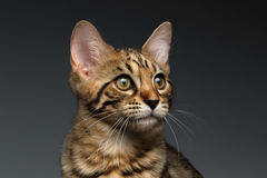 Closeup Portrait of Bengal male Kitty on Dark Background Royalty Free Stock Photography