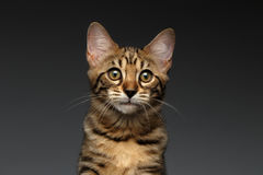 Closeup Portrait of Bengal male Kitty on Dark Background Stock Photography