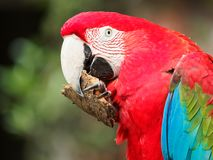 Closeup portrait of a big colorful parrot hold a piece of wood and bite, funny expressions.  royalty free stock image