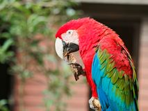 Closeup portrait of a big colorful parrot hold a piece of wood and bite, funny expressions.  royalty free stock images