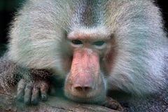 Closeup portrait of a big monkey Stock Images