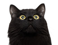 Close-up portrait Black cat looking up on the white background Stock Photos
