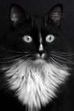 Closeup portrait black cat with white breast Royalty Free Stock Image