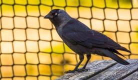 Closeup portrait of a black crow, common cosmopolitan bird specie royalty free stock images