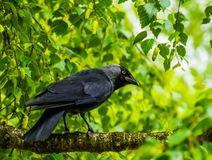 Closeup portrait of a black crow sitting on a tree branch in a tree, Nature background, common cosmopolitan bird species stock photos