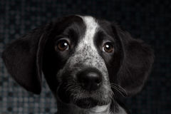 Close-up portrait black dog. Close-up portrait black and gray dog Stock Photo