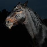 Closeup portrait black horse in the dark. Bay horse stallion portrait on the black background Stock Photography