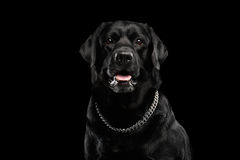 Closeup Portrait black Labrador Dog, Alert Looking, Front view, Isolated stock photography